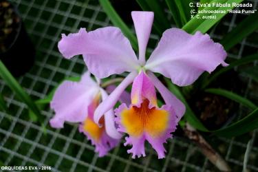 Cattleya híbrida - Orquídeas Eva