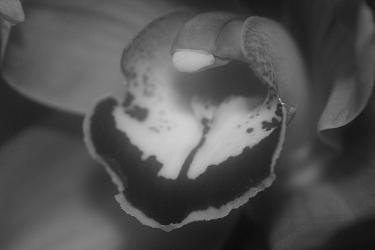 Cymbidium híbrido - Orquídeas Eva