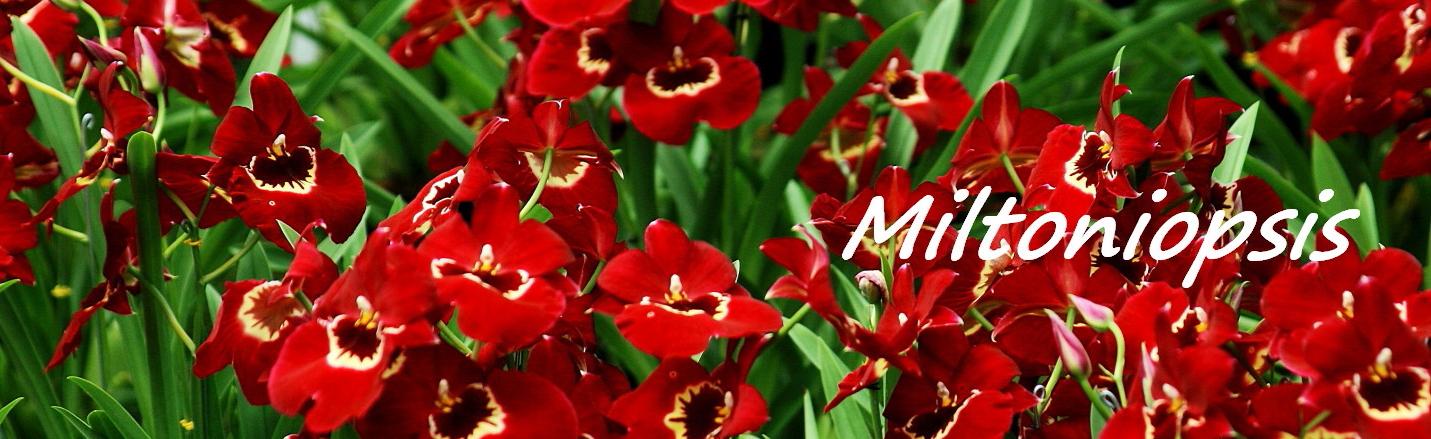 Cuidados para Miltoniopsis