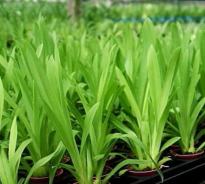 Cultivo Miltoniopsis