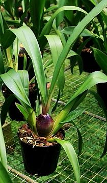Cultivo Odontoglossum