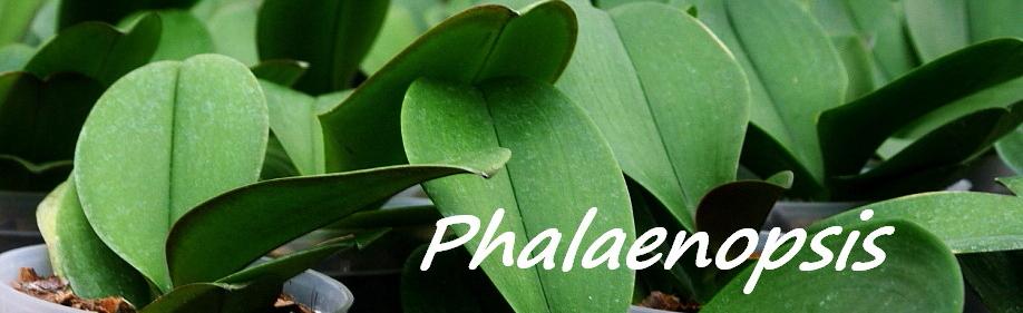 Cuidados para Phalaenopsis