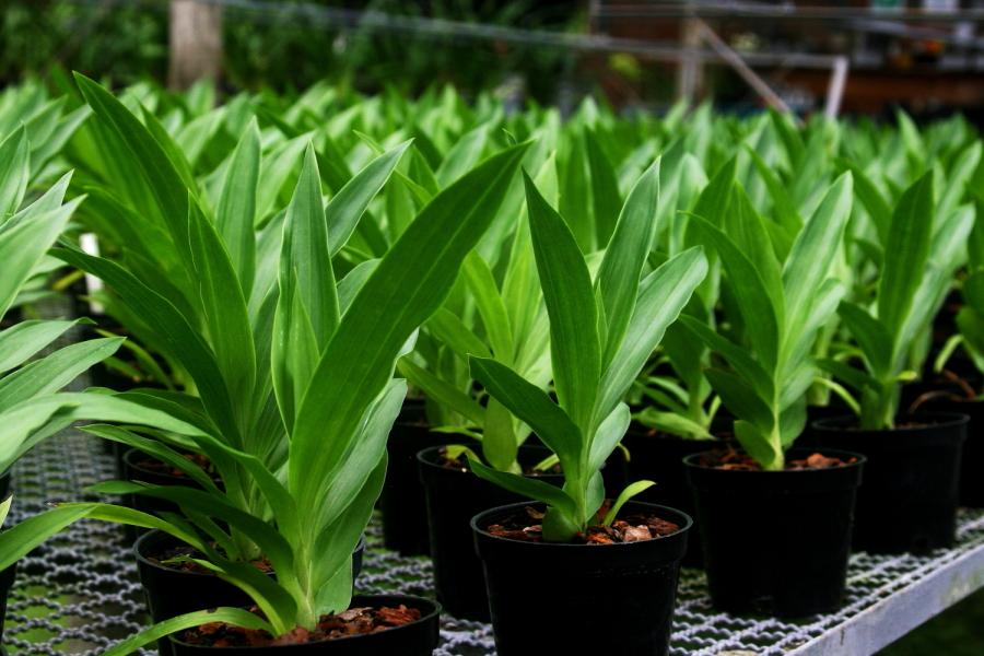 Cultivo Zygopetalum