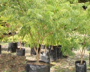 Nombre com n acacia amarilla for Viveros frutales bogota